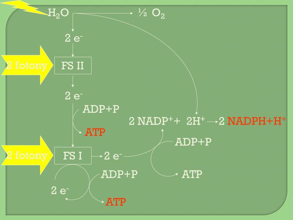 H2OH2O½ O2½ O2 2 NADPH+H + 2 e - 2 fotony FS II FS I 2 e - ADP+P ATP 2 NADP + + ADP+P ATP ADP+P ATP 2H +