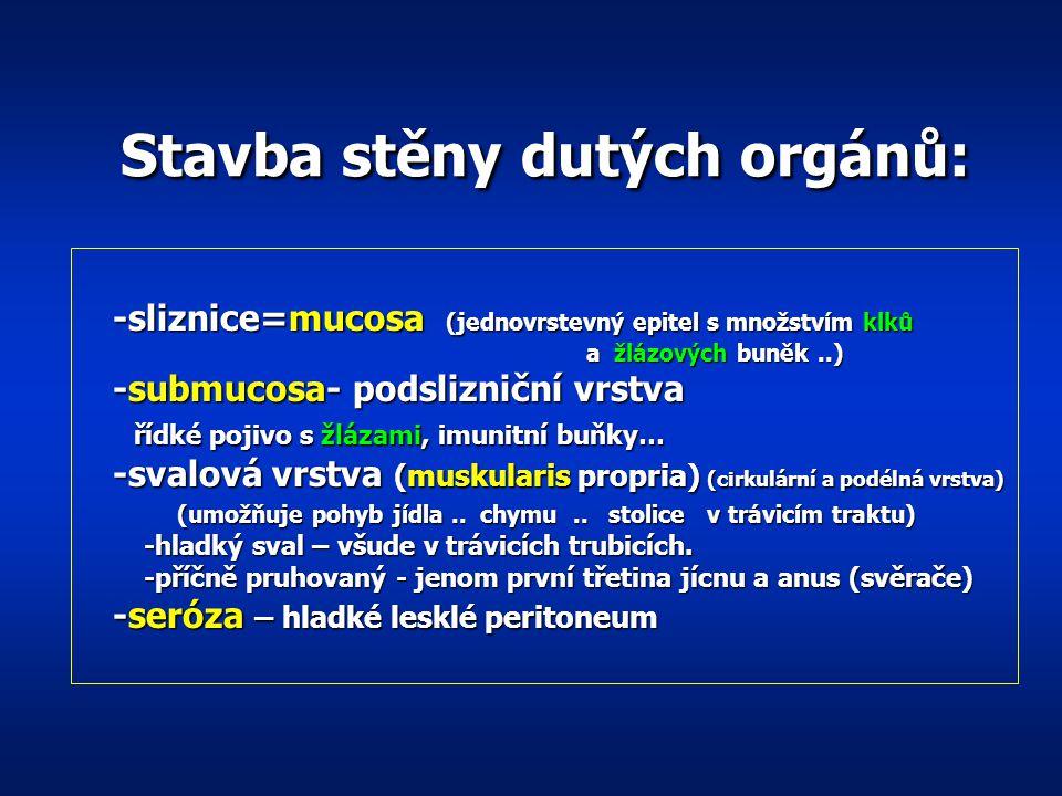 Anatomie Trubice : (duté orgány) jícen, žaludek, žlučník, tenké a tlusté střevo jícen, žaludek, žlučník, tenké a tlusté střevo buněčné žlázky tvoří v
