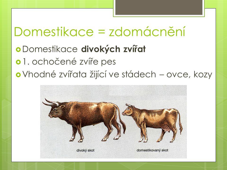 Domestikace = zdomácnění  Domestikace divokých zvířat  1. ochočené zvíře pes  Vhodné zvířata žijící ve stádech – ovce, kozy