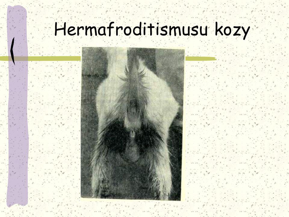 Hermafroditismusu kozy