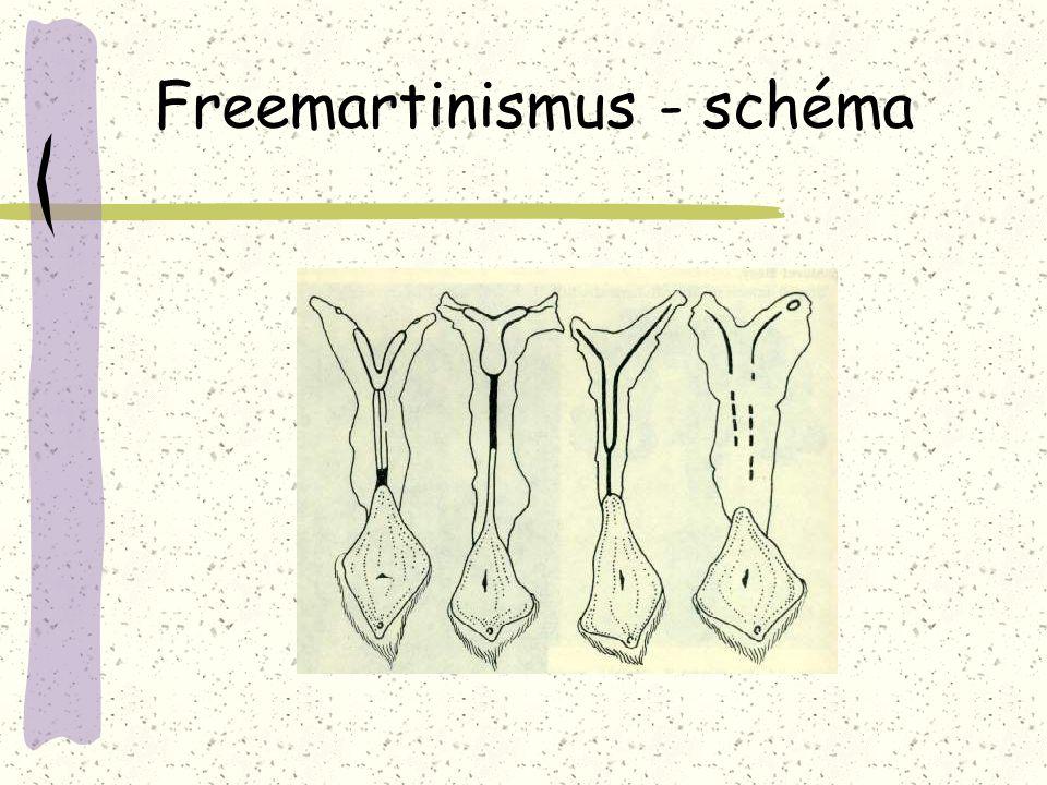 Freemartinismus - schéma