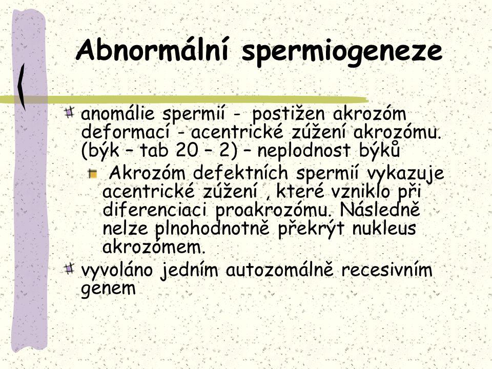 Abnormální spermiogeneze anomálie spermií - postižen akrozóm deformací - acentrické zúžení akrozómu. (býk – tab 20 – 2) – neplodnost býků Akrozóm defe