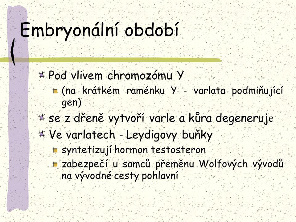 Embryonální období Pod vlivem chromozómu Y (na krátkém raménku Y - varlata podmiňující gen) se z dřeně vytvoří varle a kůra degeneruj e Ve varlatech - Leydigovy buňky syntetizují hormon testosteron zabezpečí u samců přeměnu Wolfových vývodů na vývodné cesty pohlavní