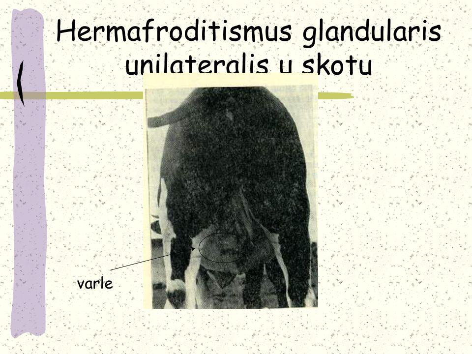 Hermafroditismus glandularis unilateralis u skotu varle