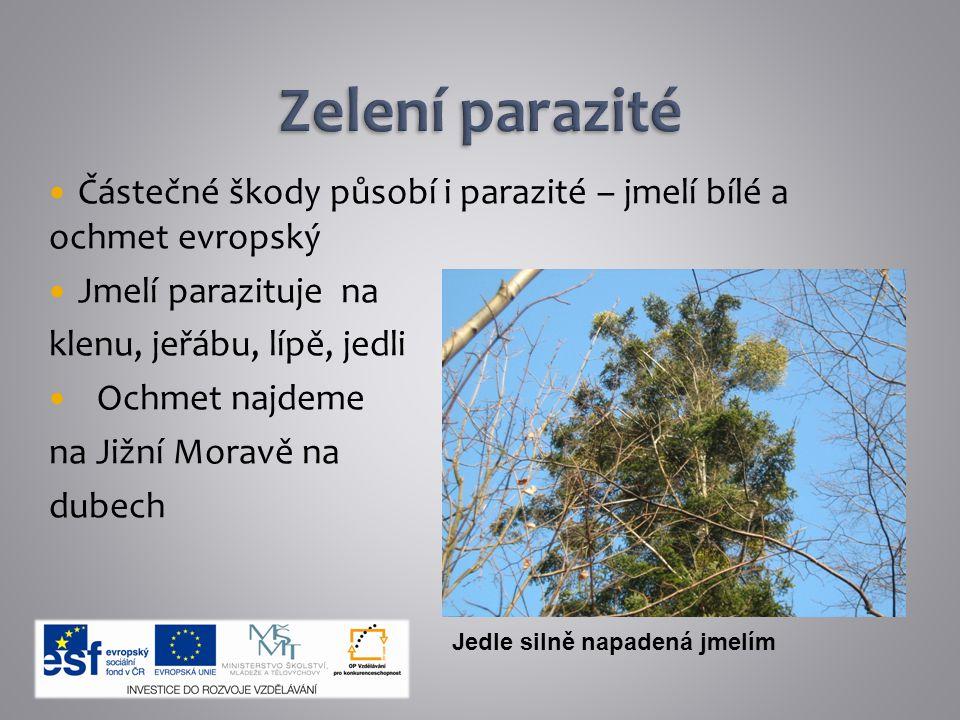 Částečné škody působí i parazité – jmelí bílé a ochmet evropský Jmelí parazituje na klenu, jeřábu, lípě, jedli Ochmet najdeme na Jižní Moravě na dubec