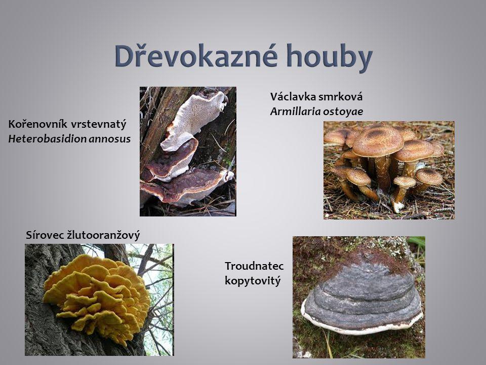 Kořenovník vrstevnatý Heterobasidion annosus Václavka smrková Armillaria ostoyae Troudnatec kopytovitý Sírovec žlutooranžový
