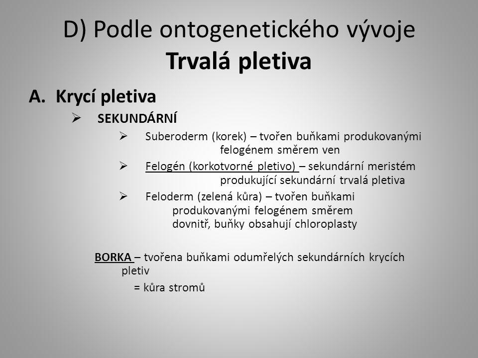 D) Podle ontogenetického vývoje Trvalá pletiva A.Krycí pletiva  SEKUNDÁRNÍ  Suberoderm (korek) – tvořen buňkami produkovanými felogénem směrem ven  Felogén (korkotvorné pletivo) – sekundární meristém produkující sekundární trvalá pletiva  Feloderm (zelená kůra) – tvořen buňkami produkovanými felogénem směrem dovnitř, buňky obsahují chloroplasty BORKA – tvořena buňkami odumřelých sekundárních krycích pletiv = kůra stromů