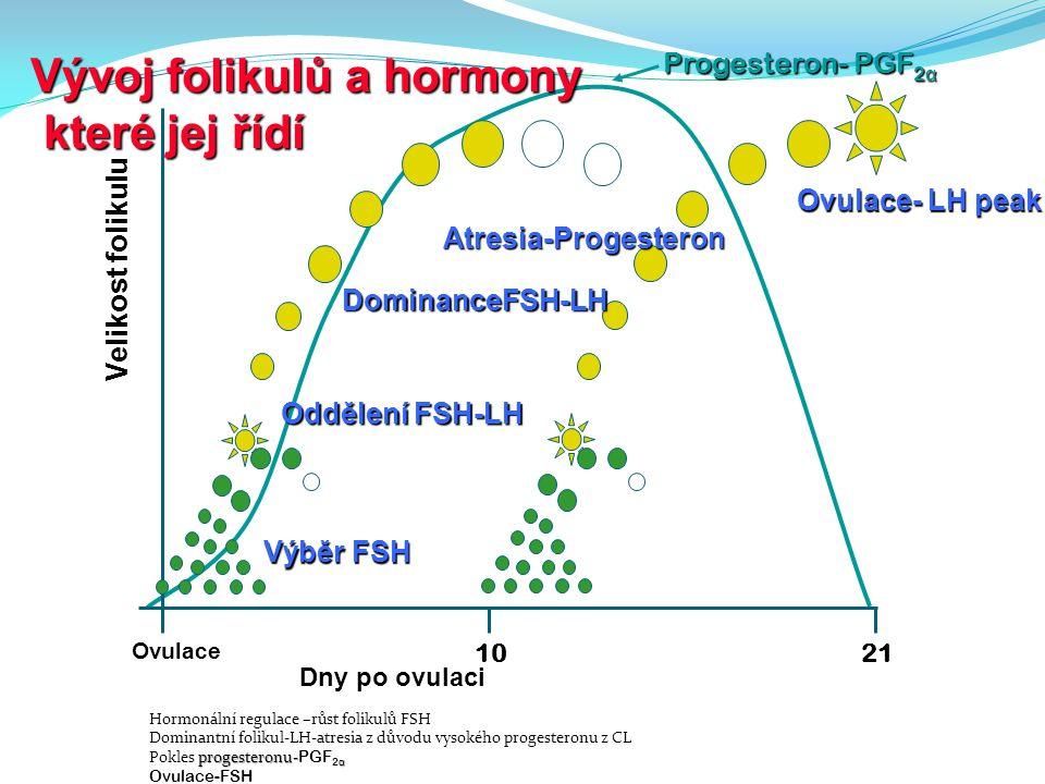 Progesteron- PGF 2 α 10 Ovulace 21 Velikost folikulu Dny po ovulaci Výběr FSH Oddělení FSH-LH DominanceFSH-LH Atresia-Progesteron Ovulace- LH peak Výv