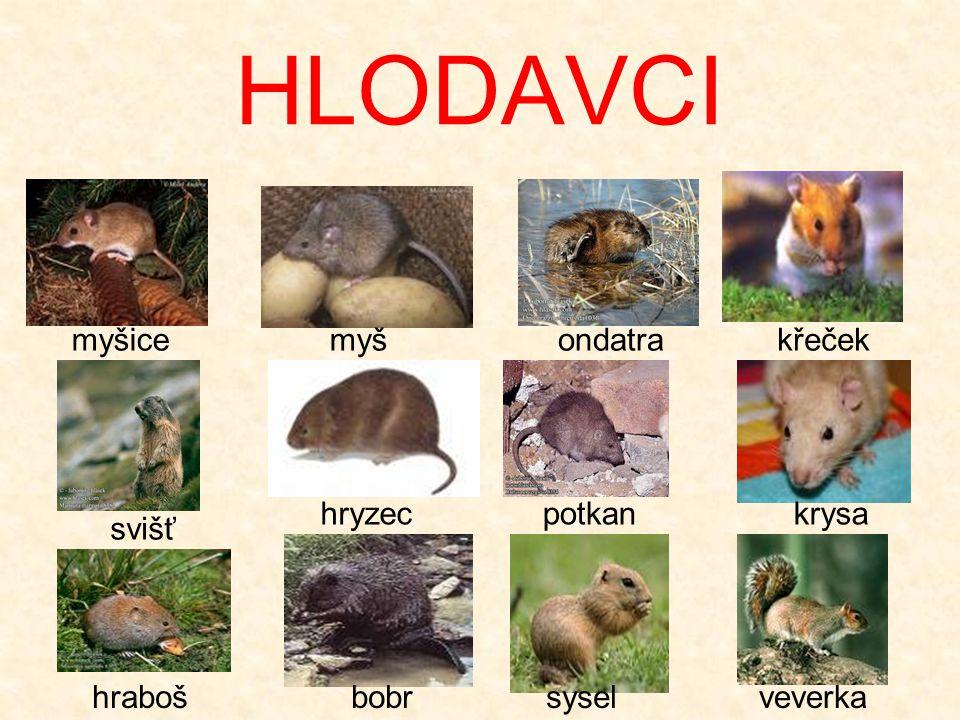 HLODAVCI myšicemyšondatrakřeček svišť potkanhryzeckrysa hrabošbobrsyselveverka