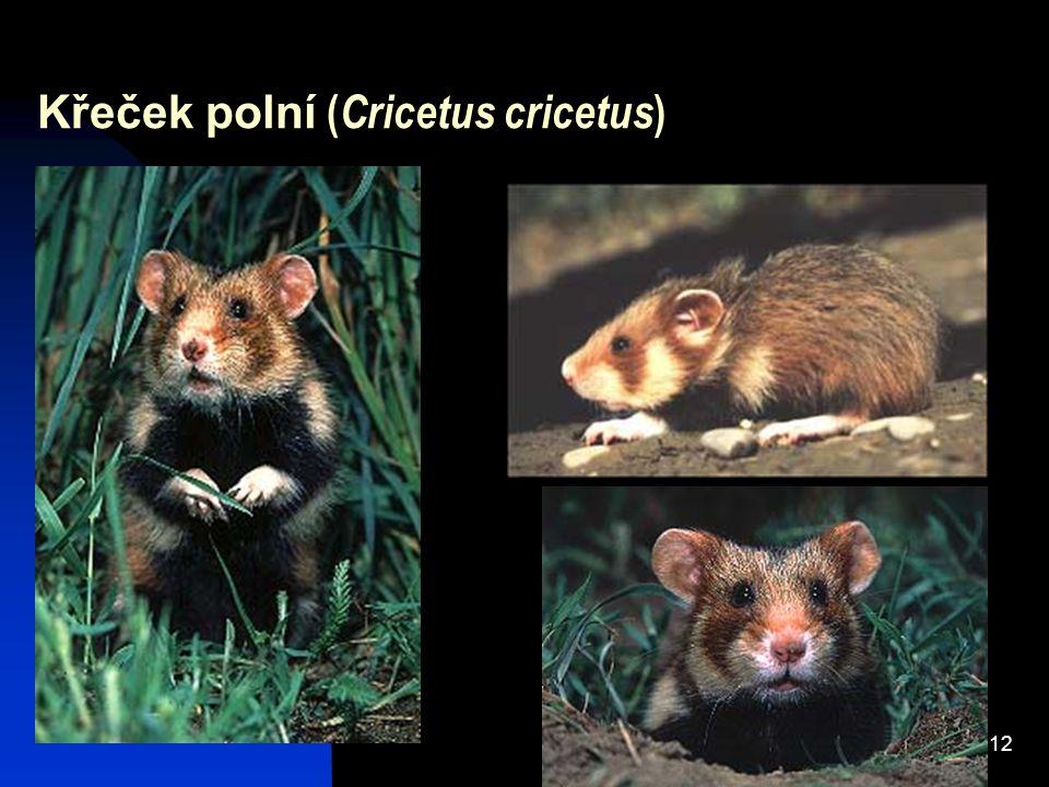 12 Křeček polní ( Cricetus cricetus )