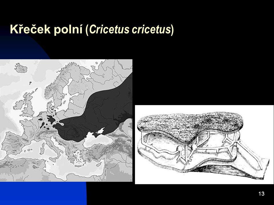 13 Křeček polní ( Cricetus cricetus )
