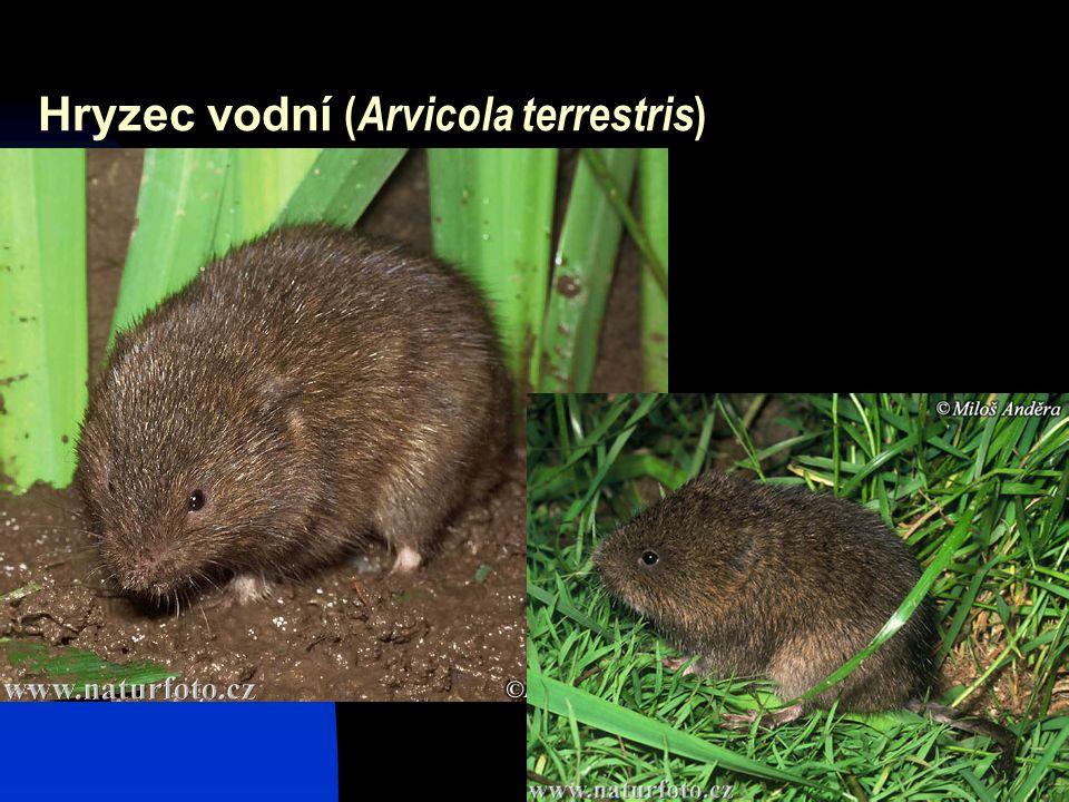 17 Hryzec vodní ( Arvicola terrestris )