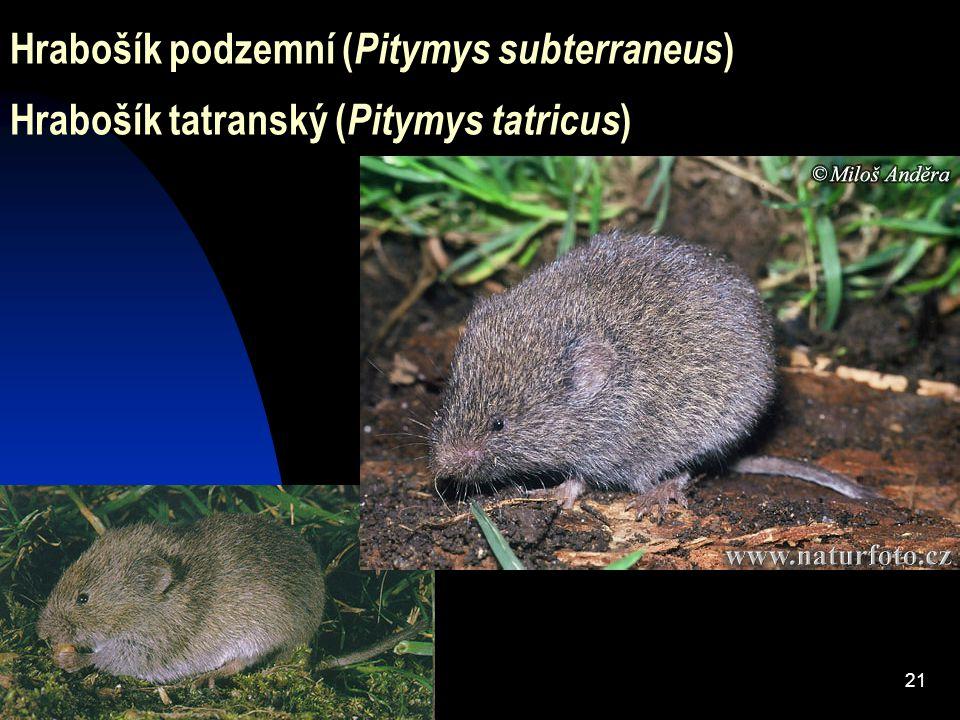21 Hrabošík podzemní ( Pitymys subterraneus ) Hrabošík tatranský ( Pitymys tatricus )