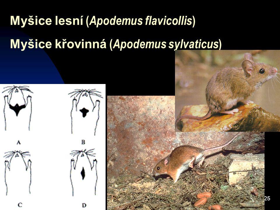 25 Myšice lesní ( Apodemus flavicollis ) Myšice křovinná ( Apodemus sylvaticus )