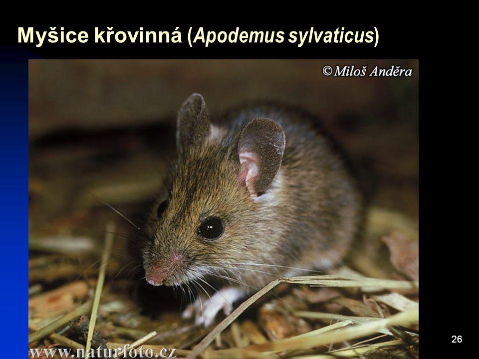 26 Myšice křovinná ( Apodemus sylvaticus )