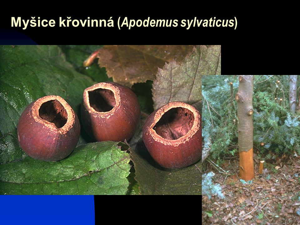 27 Myšice křovinná ( Apodemus sylvaticus )