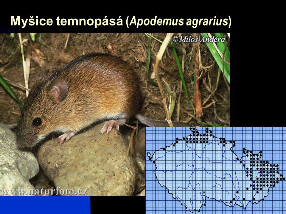 29 Myšice temnopásá ( Apodemus agrarius )