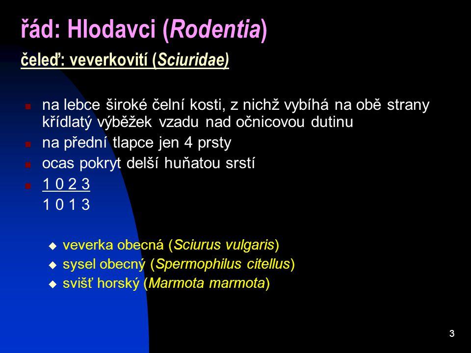 3 řád: Hlodavci ( Rodentia ) čeleď: veverkovití ( Sciuridae) na lebce široké čelní kosti, z nichž vybíhá na obě strany křídlatý výběžek vzadu nad očni