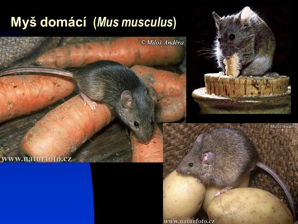 30 Myš domácí ( Mus musculus )