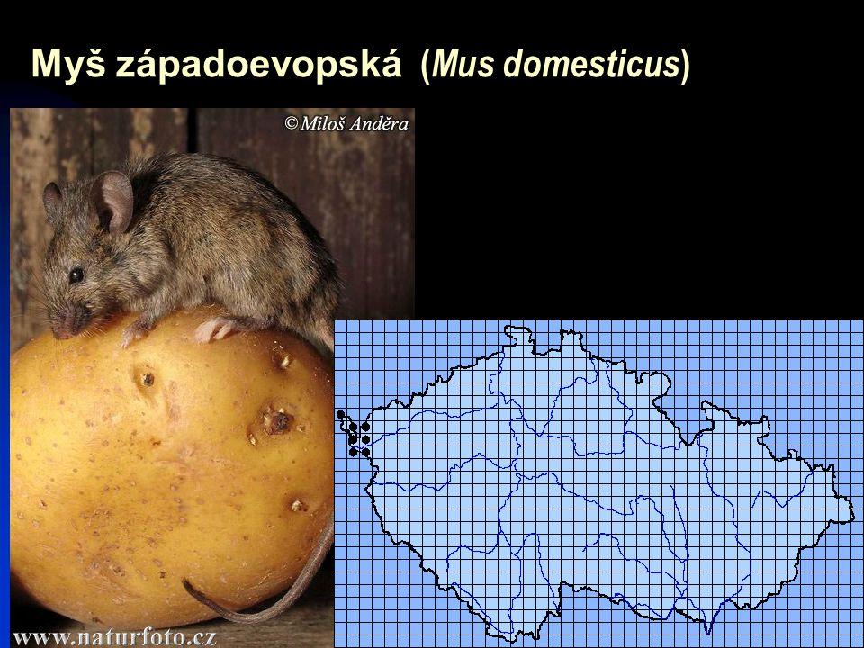 31 Myš západoevopská ( Mus domesticus )