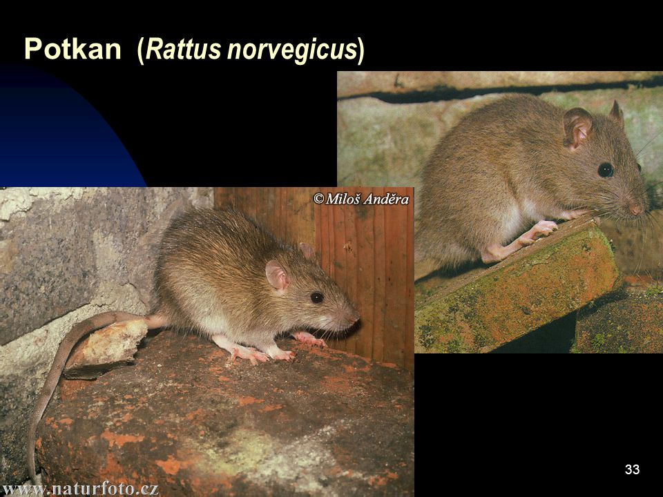 33 Potkan ( Rattus norvegicus )