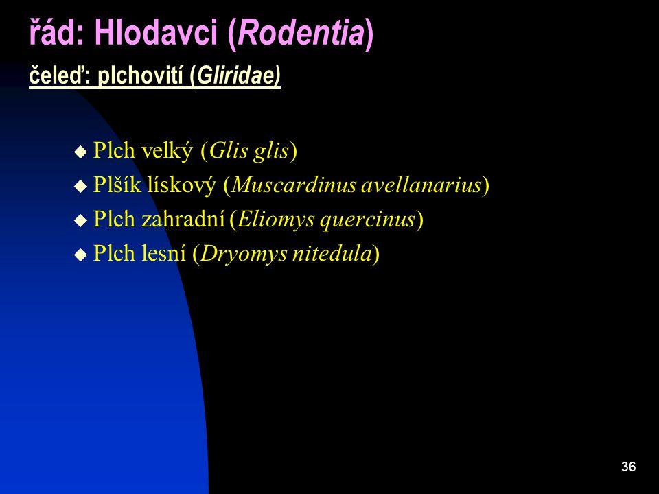 36 řád: Hlodavci ( Rodentia ) čeleď: plchovití ( Gliridae)  Plch velký (Glis glis)  Plšík lískový (Muscardinus avellanarius)  Plch zahradní (Eliomys quercinus)  Plch lesní (Dryomys nitedula)