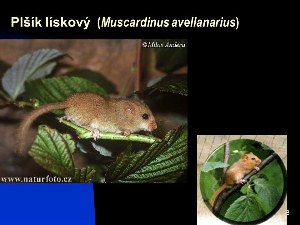 38 Plšík lískový ( Muscardinus avellanarius )