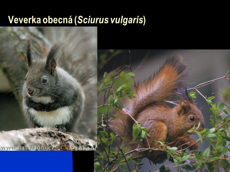 4 Veverka obecná ( Sciurus vulgaris )