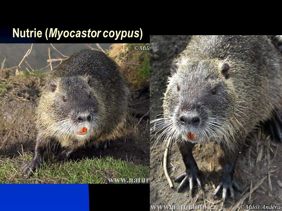 44 Nutrie ( Myocastor coypus )