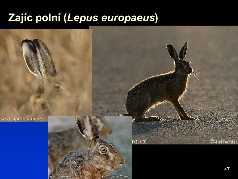 47 Zajíc polní (Lepus europaeus)
