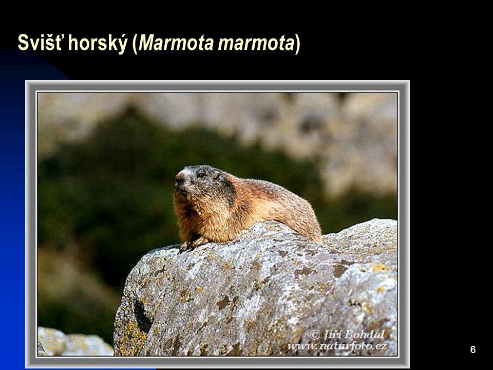6 Svišť horský ( Marmota marmota )