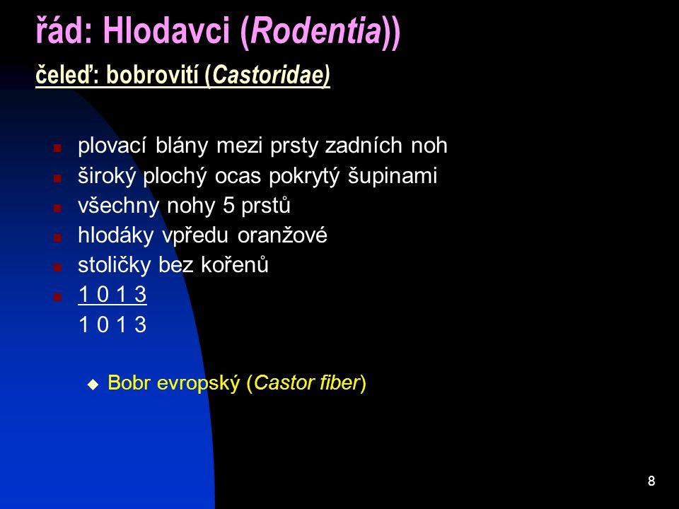 8 řád: Hlodavci ( Rodentia )) čeleď: bobrovití ( Castoridae) plovací blány mezi prsty zadních noh široký plochý ocas pokrytý šupinami všechny nohy 5 prstů hlodáky vpředu oranžové stoličky bez kořenů 1 0 1 3  Bobr evropský (Castor fiber)