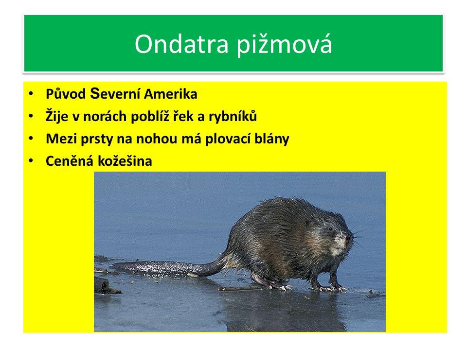 Svišť horský Plachý býložravec Žije v horských oblastech v koloniích V ČR není, setkat se s ním můžeme v Tatrách (SR)