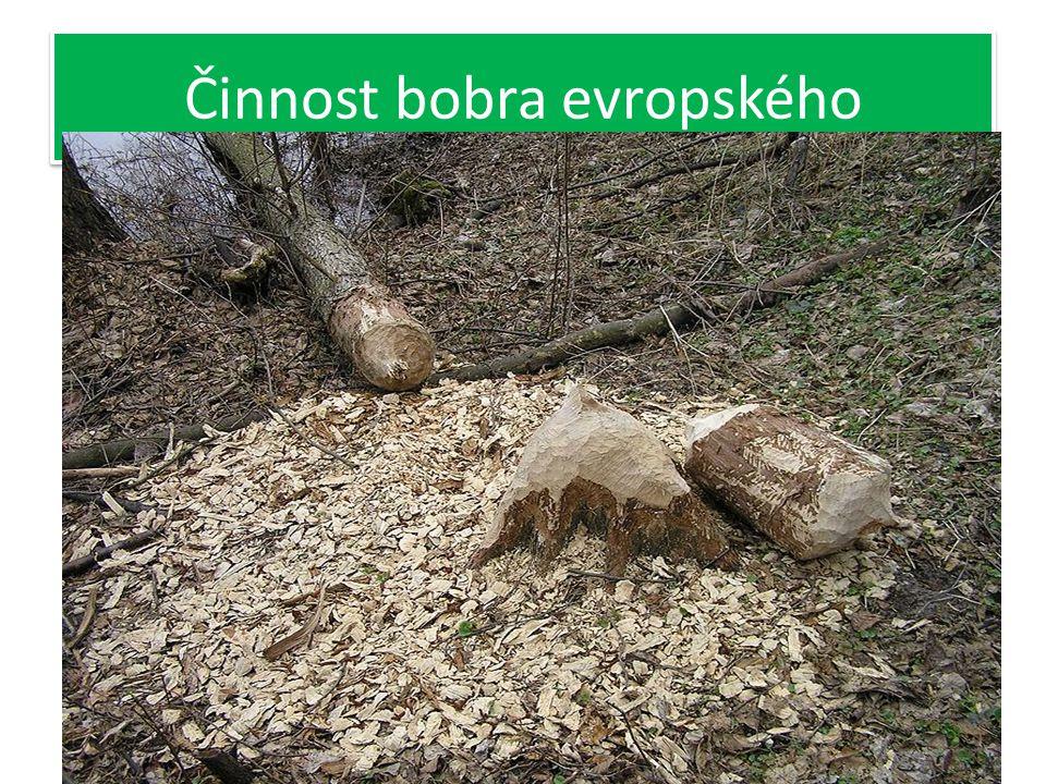 Bobr evropský Velký hlodavec až 1 m Živí se rostlinnou potravou, především kůrou stromů Staví hráze ve vodě, dokáže pokácet celý strom