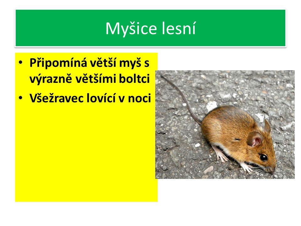 Myšice lesní Připomíná větší myš s výrazně většími boltci Všežravec lovící v noci