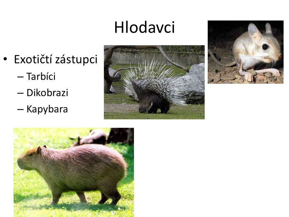 Exotičtí zástupci – Tarbíci – Dikobrazi – Kapybara