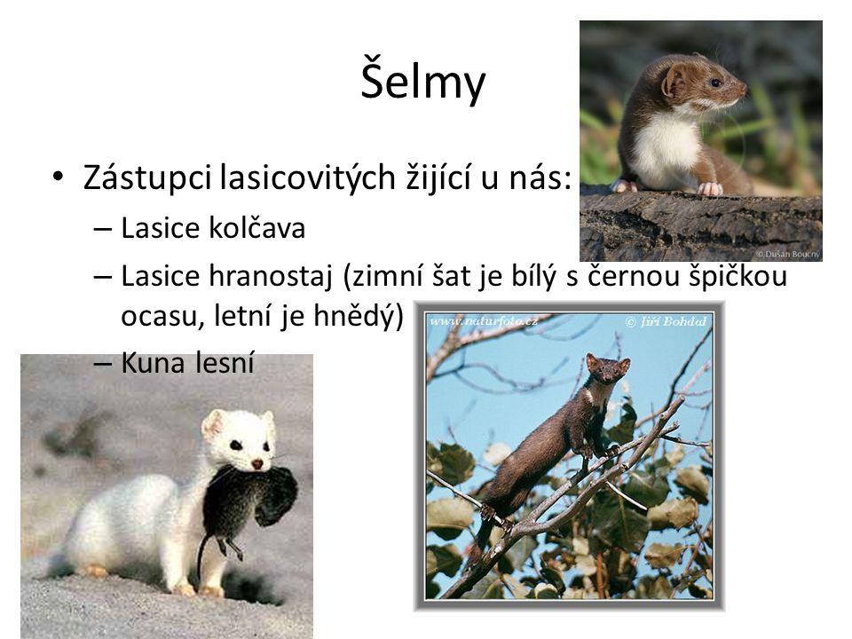 Šelmy Zástupci lasicovitých žijící u nás: – Lasice kolčava – Lasice hranostaj (zimní šat je bílý s černou špičkou ocasu, letní je hnědý) – Kuna lesní