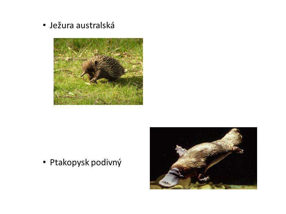 Ježura australská Ptakopysk podivný
