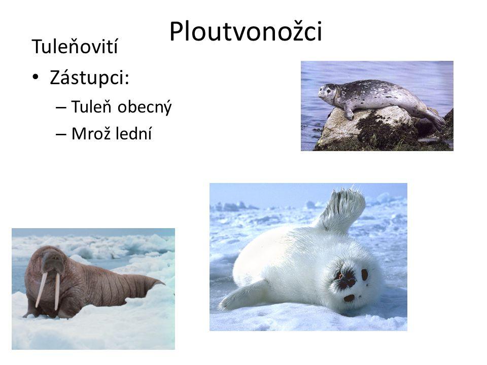 Ploutvonožci Tuleňovití Zástupci: – Tuleň obecný – Mrož lední