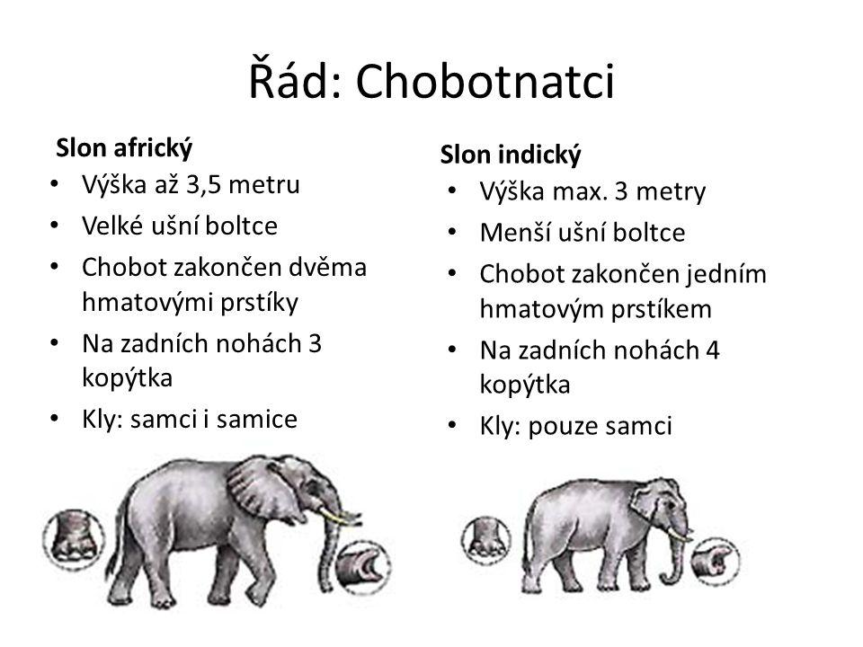 Řád: Chobotnatci Slon africký Výška až 3,5 metru Velké ušní boltce Chobot zakončen dvěma hmatovými prstíky Na zadních nohách 3 kopýtka Kly: samci i sa