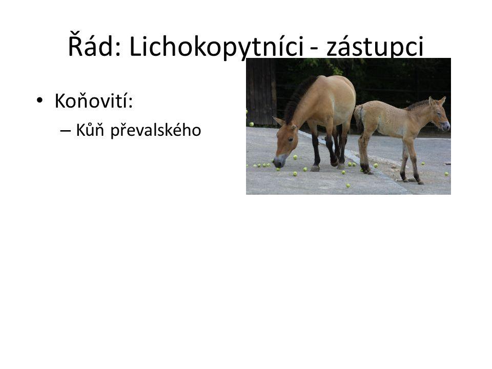Řád: Lichokopytníci - zástupci Koňovití: – Kůň převalského