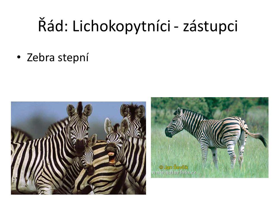 Řád: Lichokopytníci - zástupci Zebra stepní
