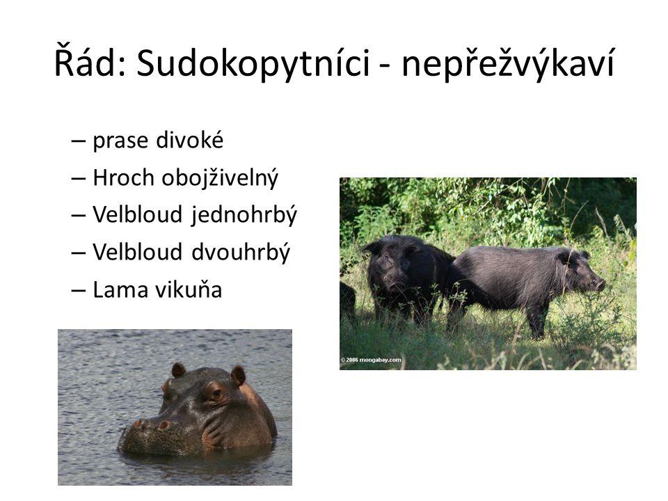 Řád: Sudokopytníci - nepřežvýkaví – prase divoké – Hroch obojživelný – Velbloud jednohrbý – Velbloud dvouhrbý – Lama vikuňa