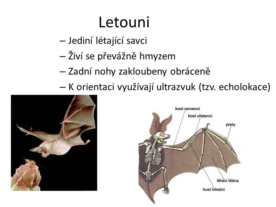 Letouni – Jediní létající savci – Živí se převážně hmyzem – Zadní nohy zakloubeny obráceně – K orientaci využívají ultrazvuk (tzv. echolokace)