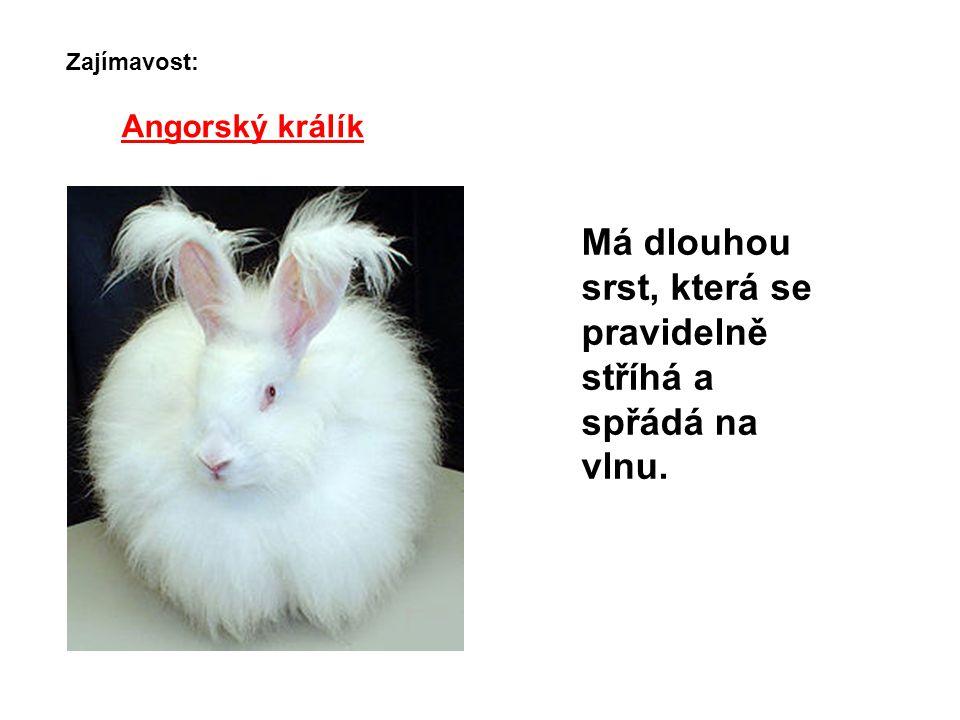 Angorský králík Má dlouhou srst, která se pravidelně stříhá a spřádá na vlnu. Zajímavost: