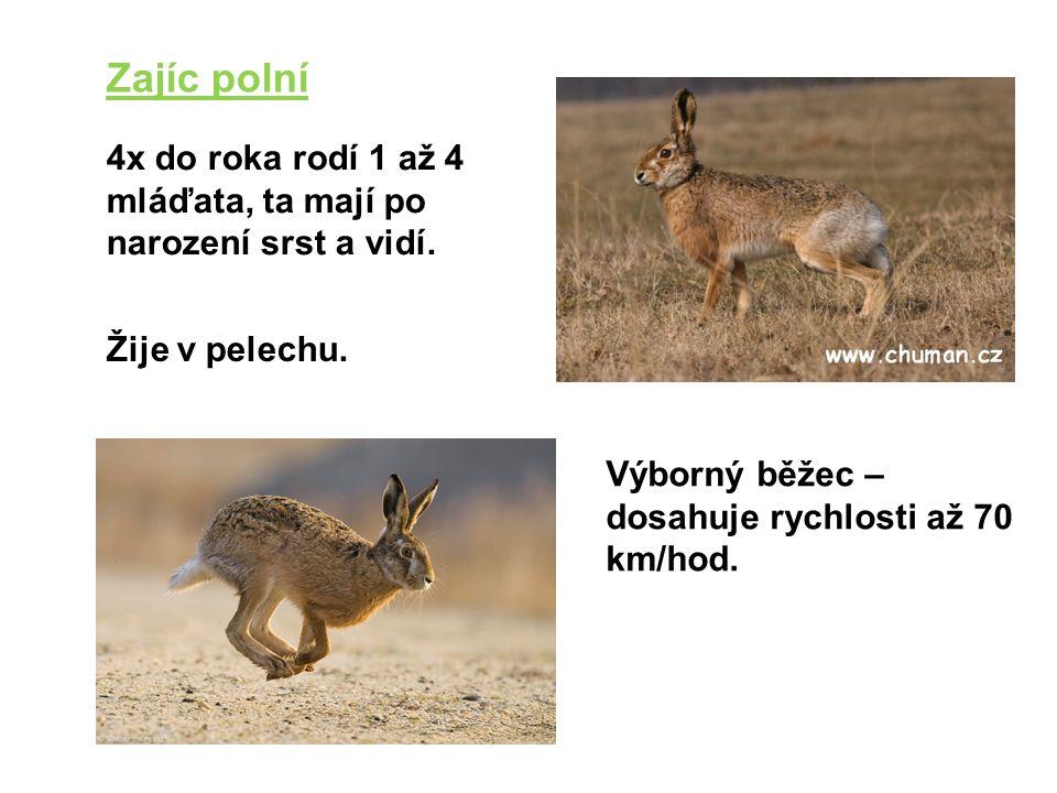 Zajíc polní 4x do roka rodí 1 až 4 mláďata, ta mají po narození srst a vidí. Žije v pelechu. Výborný běžec – dosahuje rychlosti až 70 km/hod.