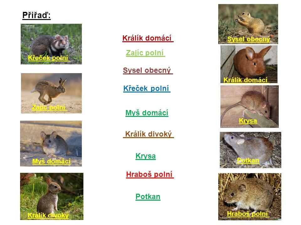 Přiřaď: Sysel obecný Křeček polní Hraboš polní Zajíc polní Králík domácí Krysa Králík divoký Myš domácí Potkan Králík domácí Zajíc polní Sysel obecný