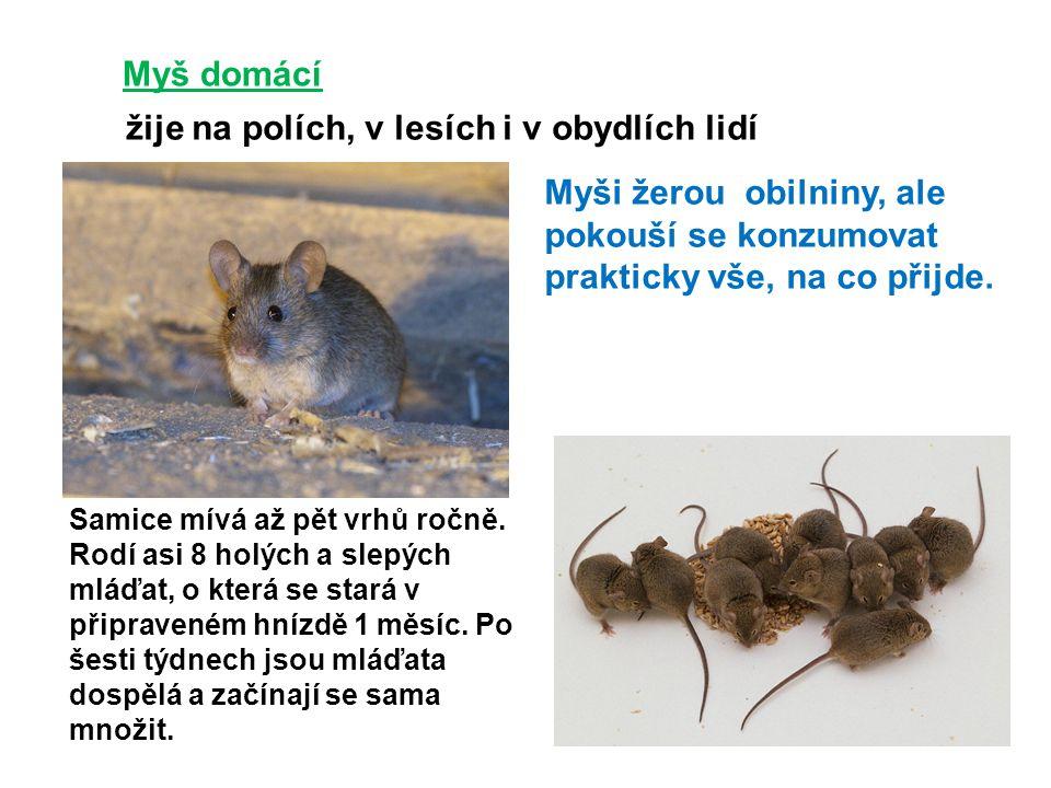 Myš domácí žije na polích, v lesích i v obydlích lidí Myši žerou obilniny, ale pokouší se konzumovat prakticky vše, na co přijde. Samice mívá až pět v