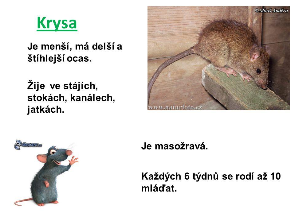 Krysa Je menší, má delší a štíhlejší ocas. Žije ve stájích, stokách, kanálech, jatkách. Je masožravá. Každých 6 týdnů se rodí až 10 mláďat.