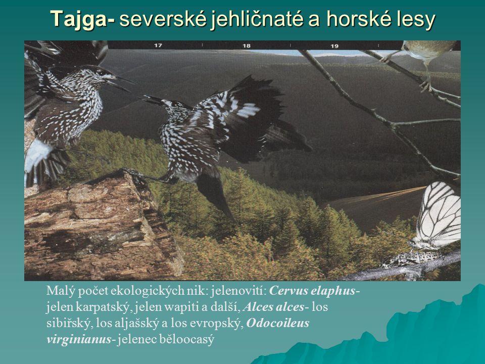 Tajga- severské jehličnaté a horské lesy Malý počet ekologických nik: jelenovití: Cervus elaphus- jelen karpatský, jelen wapiti a další, Alces alces-
